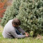 U-Cut Christmas Tree Farms near Portland